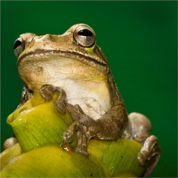 Tom Mulick - Tree Frog