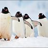 Penguins on Parade - Bill Bishoff