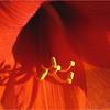 Amaryllis - Linda Waycie