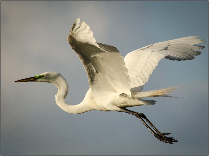 Great Egret in Flight<br /> Dave Waycie