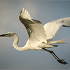 Great Egret in Flight<br /> Dave Waycie