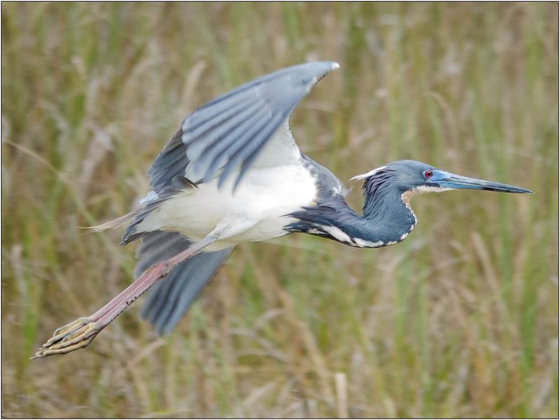 Great Blue Heron in Flight<br /> Dave Waycie