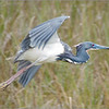 Great Blue Heron in Flight<br /> Dave Waycie
