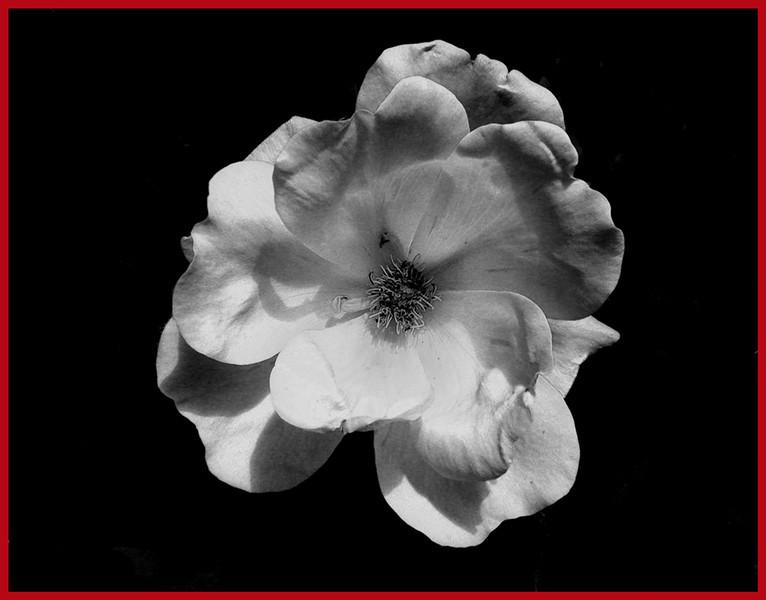 White Flower<br /> Ken Black