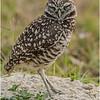 Burrowing Owl<br /> Dave Waycie