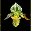Slipper Orchid<br /> Ken Black