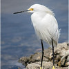 Snowy Egret<br /> Dave Waycie