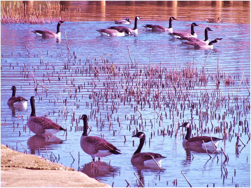 11 Geese and 2 Ducks<br /> Irene Szilagyi