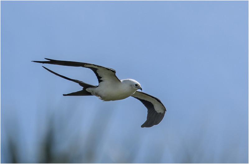Swallow Tailed Kite<br /> Dave Waycie
