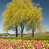 Willows in the Wind<br /> Stan Kotecki