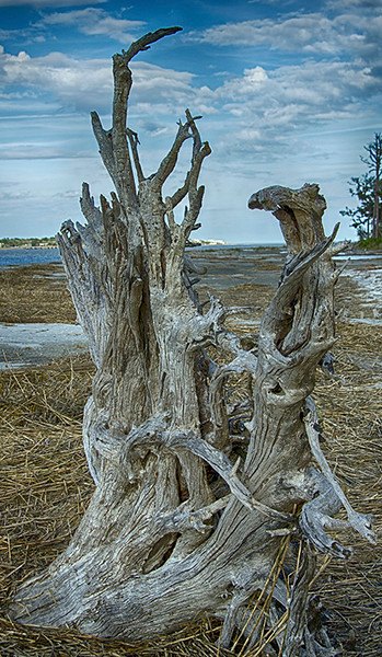 Driftwood 1, Jekyll Island, GA<br /> Tom Vincent