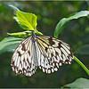 Butterfly<br /> Irene Szilagyi