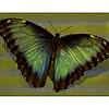 Butterfly 1<br /> Ken Kendzy