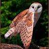 Showy Barn Owl - Marie Rakoczy