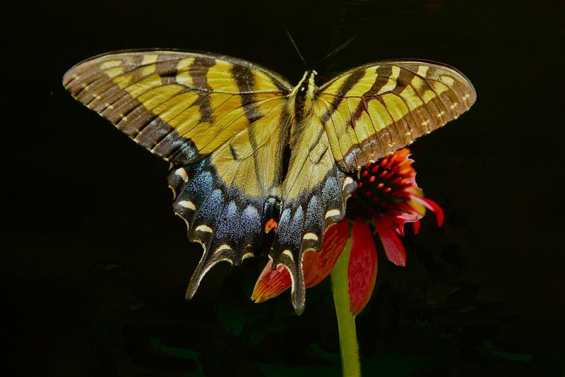Swallowtail Landing - Bob Erickson