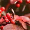 Red Berries - Bob Erickson