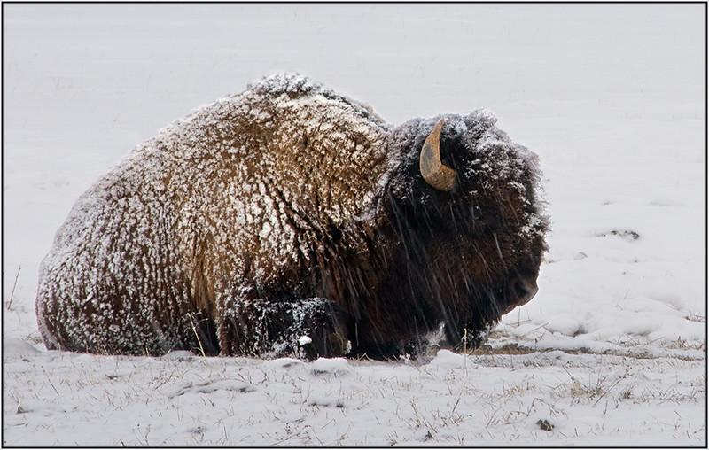 Bison in Snowstorm - Marie Rakoczy