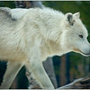 White Wolf - Gary Taylor