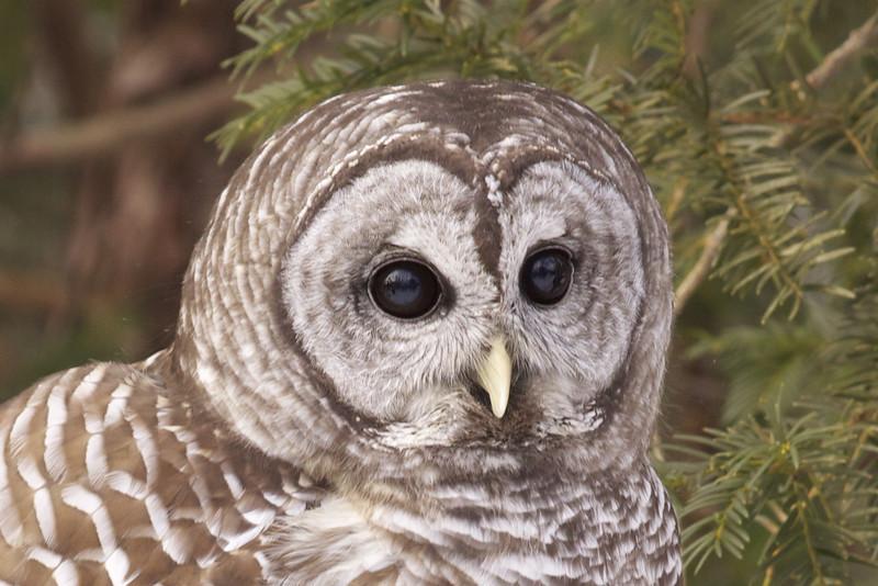Barred Owl - Bob Erickson