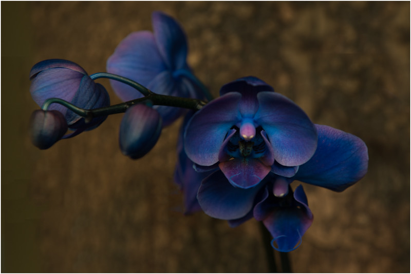 Blue Orchids - Gary Taylor