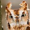 Eastern Screech Owl - John Kraft