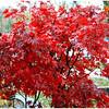 Jean Ungar - Crimson Leaves