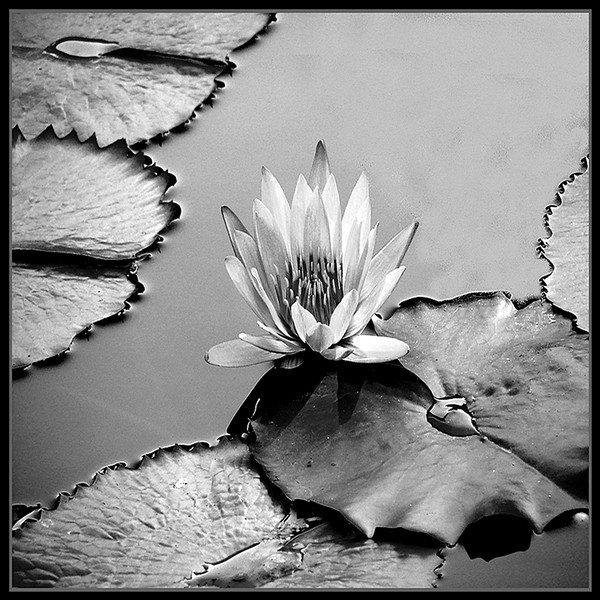 Ken Black - Water Lily