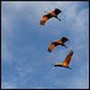 Ken Black - Sandhill Cranes