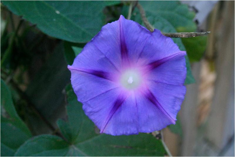 Blue Flower<br /> Peter Koch