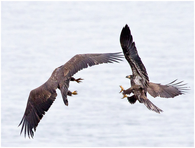 Eagle Fight<br /> Tom Mulick
