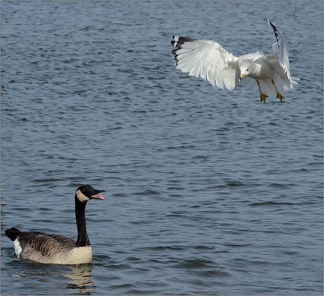 Amazed Goose<br /> Sue Lindell