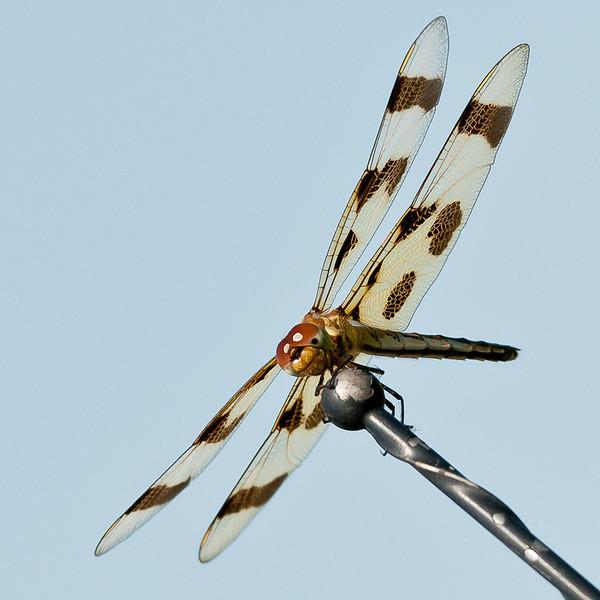 Dragonfly<br /> Nancy Strahinic