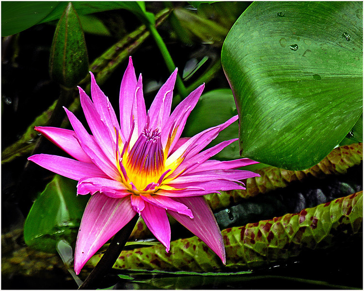 Pink Water Lily<br /> Irene Szilagyi