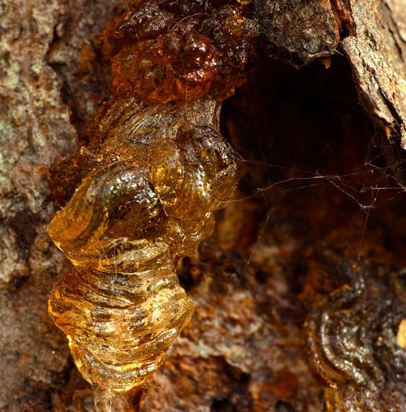 Tree Sap and Spider Web<br /> Tom Vincent