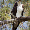 Watchful Osprey<br /> Tom Mulick