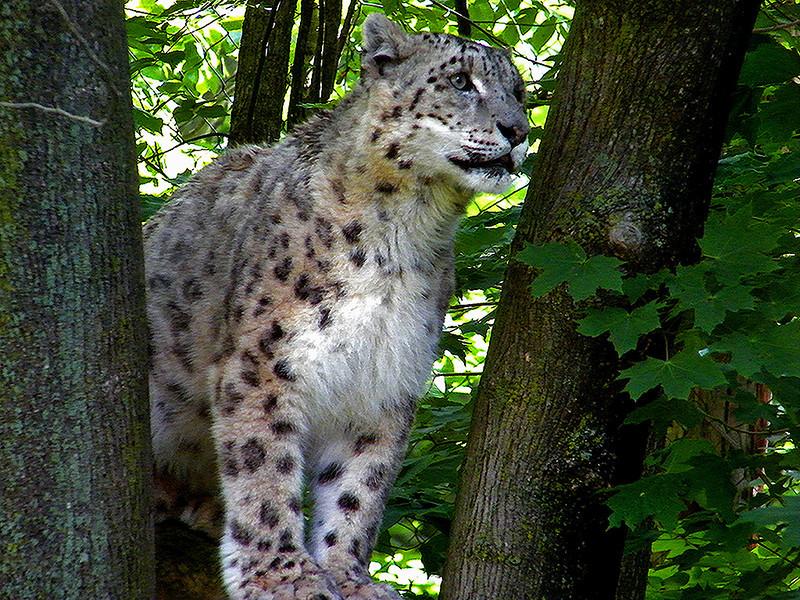 Snow Leopard<br /> Ken Kendzy