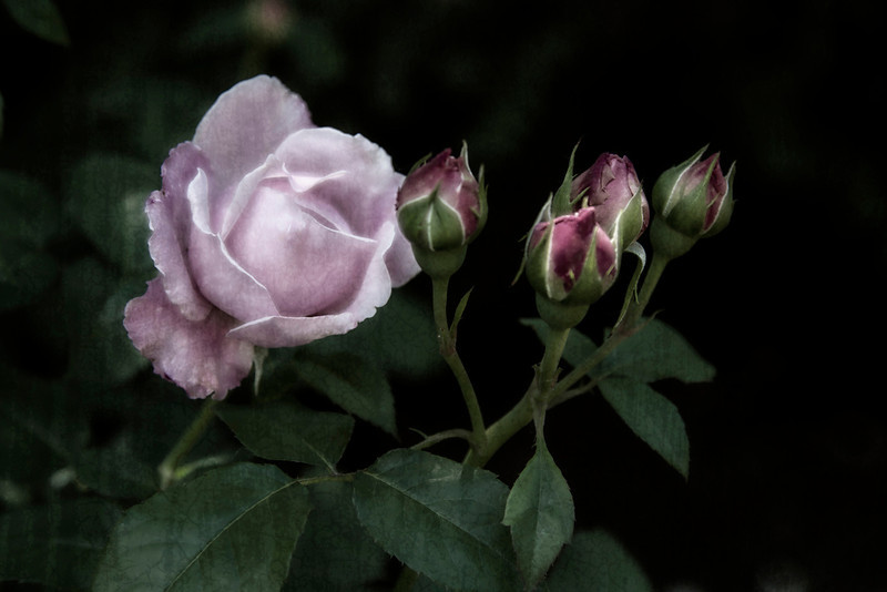 A Rose and Promises<br /> Theresa Hart