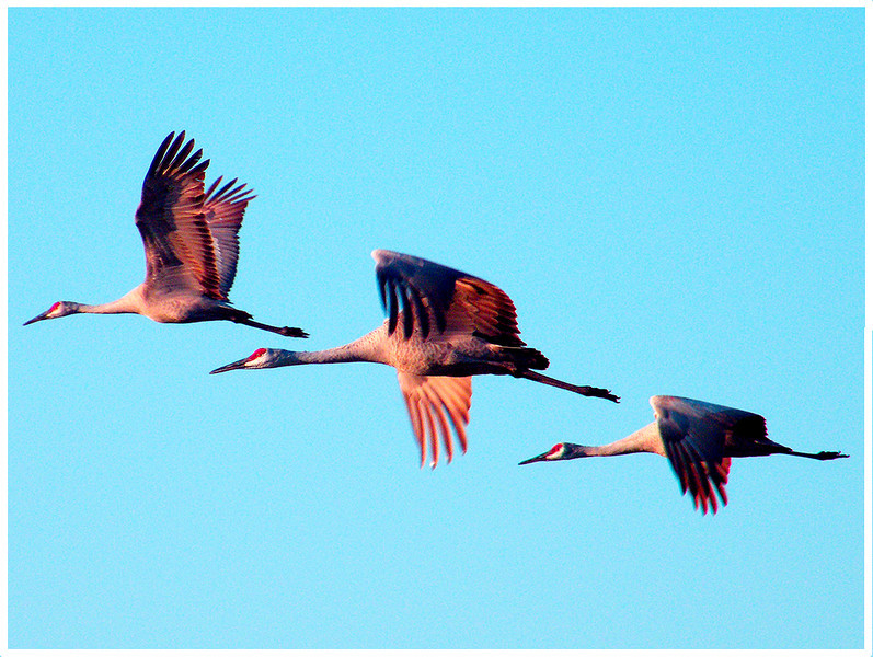 Sandhill Cranes<br /> Ken Kendzy