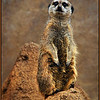 Meerkat Posing<br /> Marie Rakoczy