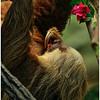 Moss the Two-Toed Sloth - Louis Sobolewski