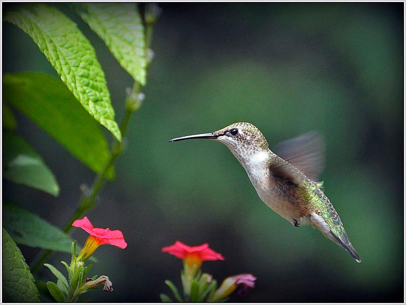 Nectar Seeker - Robert Wallace