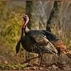 Wild Turkey - Marie Rakoczy