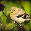 Male Goldfinch - Robert Wallace