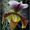 Paphiopedilum Orchid - Robert Wallace