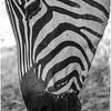 Zebra - Eva Waycie