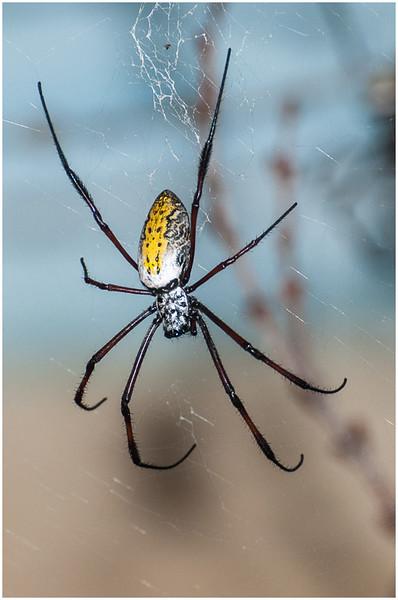 Spider - Dave Waycie