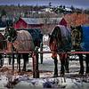 Amish Carriage Horses - Joe Rakoczy