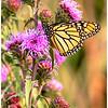 Monarch on Blazing Star - Scott Hansen