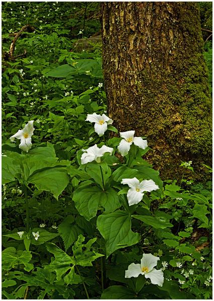 Theresa Hart - Smoky Mountain Trillium