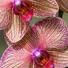 Orchids<br /> Nora Liu